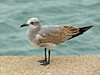 1st Winter Laughing Gull