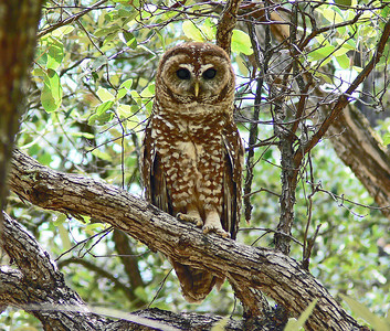 Adult Spotted Owl, Near Portal, AZ 7-17-06