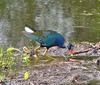 Purple Gallinule.  Brazos Bend, TX, 6-30-05