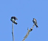 Young Purple Martins, Huntley Meadows Park, VA, 7-11-11