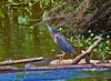 Dancing Green Heron,