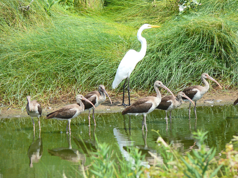 Great Egret and a flock of immature White Ibis, Chincoteague NWR, 8-8-13