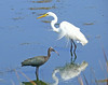 Glossy Ibis and Great Egret