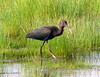 Glossy Ibis, Chincoteague, VA, 7-16-05