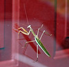 Praying Mantis,