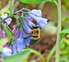 Bumblebee on a Bluebell