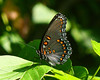 Red-spotted Purple, Dyke Marsh, VA, 8-29-10