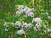 Mountain Laurel, Shenendoah NP,  6-25-13