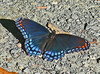 Red-spotted Purple, Huntley Meadows Park, VA, 9-1-09