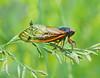 Seventeen Year Cicada, Brood 2